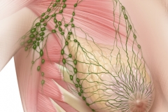 LYMPH NODES OF THE BREAST