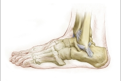 LATERAL LIGAMENTS of the FOOT